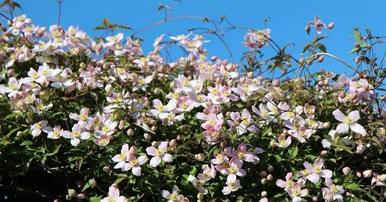 How To Go About Pruning Clematis?