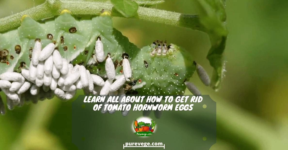 tomato hornworm eggs