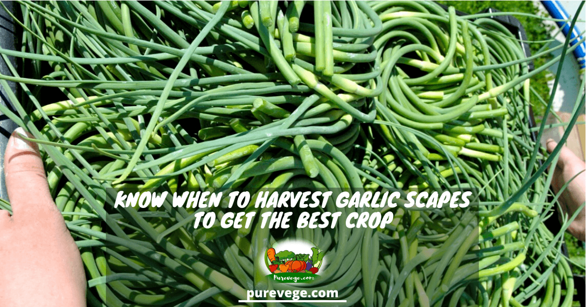 when to harvest garlic scapes