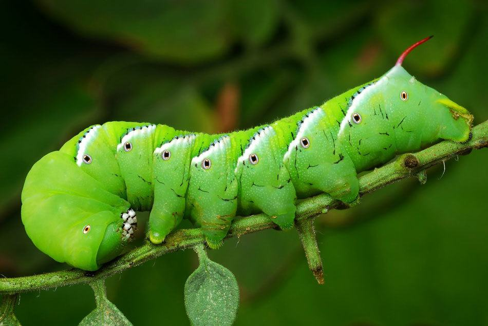 Hornworm caterpillars