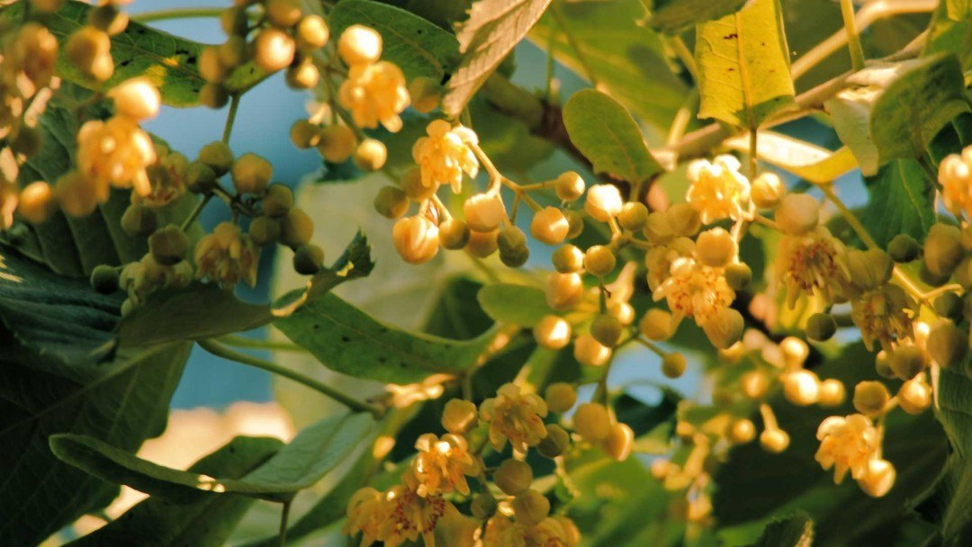 Linden trees smell