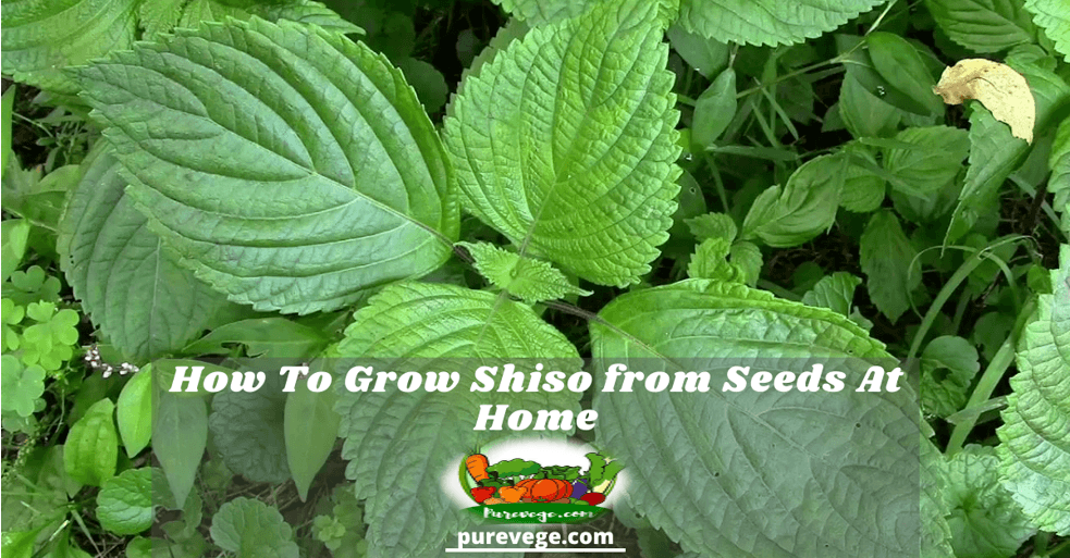 how to grow shiso