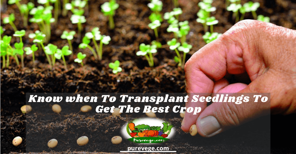 when to transplant seedlings