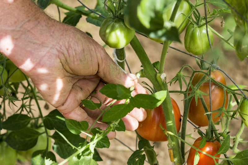 pruning indeterminate tomatoes