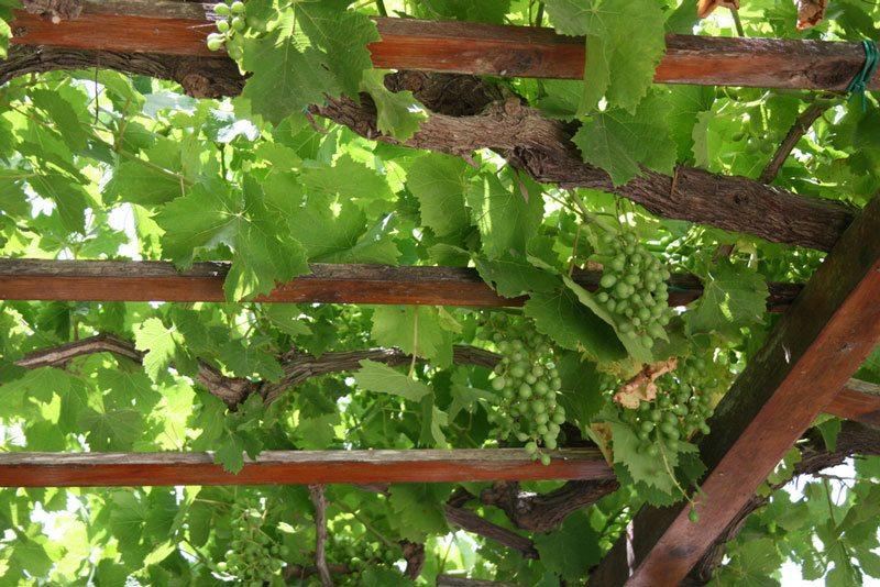grape vine trellis